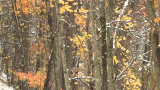 Light Snowfall In Wooded Area