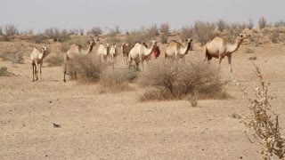 Line Of Camels Walk Through The Desert