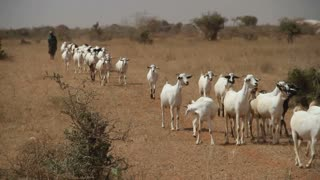 Line Of White Goats And Shepherd Walked Through Desert