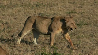 Lion In Dry Field