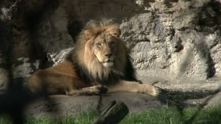 Lion relaxing on rock surface