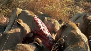 Lions Feasting 2
