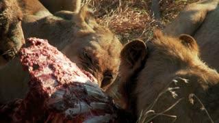 Lions Feasting 3