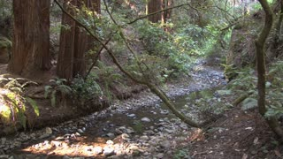 Little Creek Through Redwood Forest 2