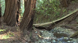 Little Creek Through Redwood Forest