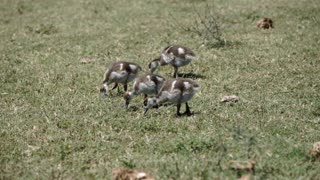 Little ducks eating grass in Addo Elephant National Park South Africa