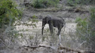 Little elephant standing alone in the bush in Kruger National Park South Africa