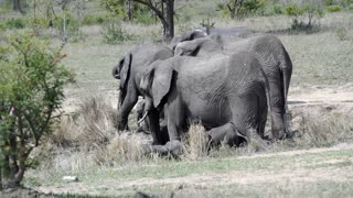 Little elephants playing around their parents in Kruger National Park South Africa