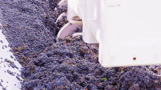 Loading Grapes Into Crusher