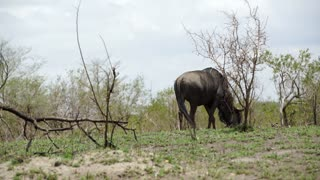 Lonely wildebeest in the bush of the Kruger National Park South Africa