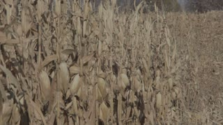 Looking Down Row of Cornstalks Swaying