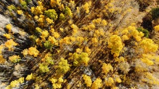 Looking down while flying over golden Aspen trees in autumn with fall foliage