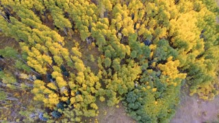 Looking down while flying over vibrant golden fall foliage Aspen trees in autumn