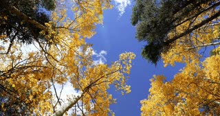 Looking straight up as wind blows Aspen tree fall foliage leaves