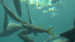 Looking Up at Large Fish School Swimming Near Surface