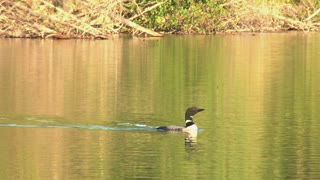 Loon Swimming in Lake then Diving Under the Water