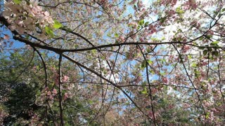 Low Hanging Cherry Blossom Branches