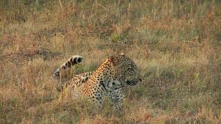 Lurking Leopard