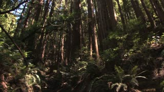 Luscious Redwood Forest Spin