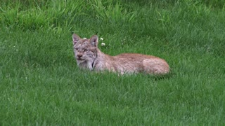 Lynx Lying in the Grass