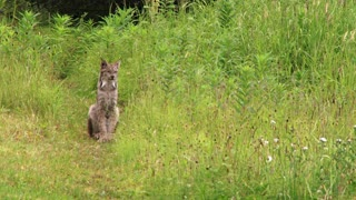 Lynx Sitting and Scratching Head