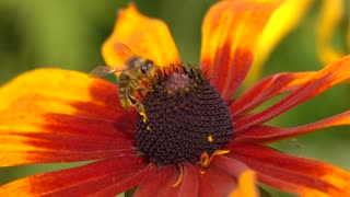 Macro super slow motion shot of bee crawling on yellow flower and flying away. 250 fps