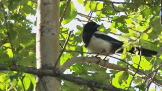 Magpie Chirping in a Birch Tree