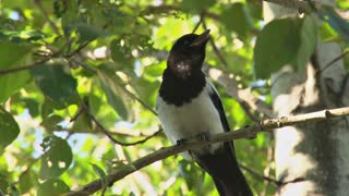 Magpie in a Birch Tree