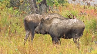 Male and Female Moose in Field