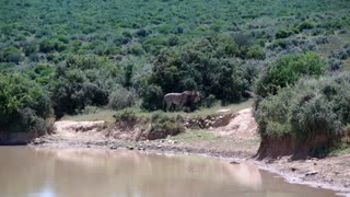 Male Lion walking away from the waterpool in Addo Elephant National Park South Africa
