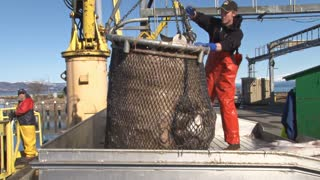 Man Dumping Halibut Bucking on Fishing Boat