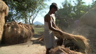 Man Harvesting Rice in India
