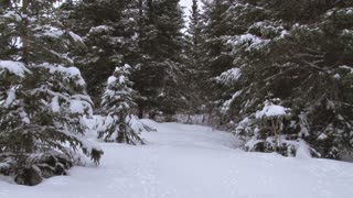 Man Looking for a Christmas Tree in a Snowy Spruce Forest