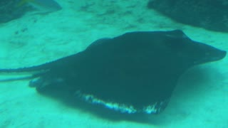 Manta Ray Swimming into Distance on Sea Floor