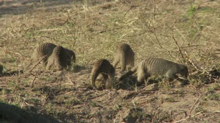 Meerkats On Dry Grass