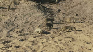 Meerkats Running On Dirt
