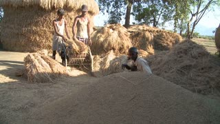 Men Harvesting Rice on Fields in India