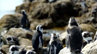 Molting penguin colony at the rocks in Stony Point South Africa