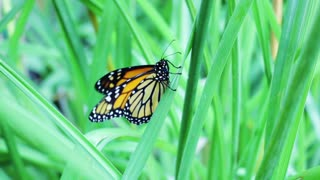Monarch Butterfly Flapping Wings