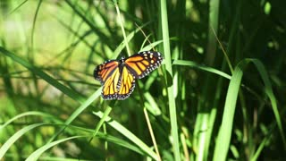 Monarch Butterfly On Grass