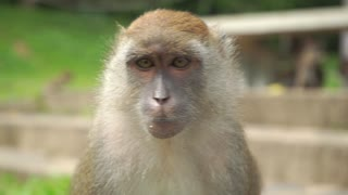 Monkey looking around, close up slow motion video. Songkhla, Thailand
