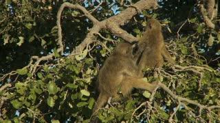 Monkies Grooming In Tree
