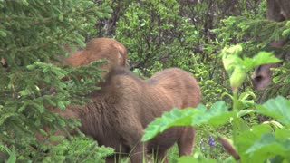 Moose Calf in the Bushes