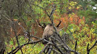 Moose Going Back into Woods