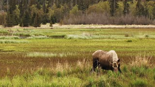 Moose in Marshland Alone