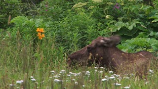 Moose Laying in Bed of Wildflowers