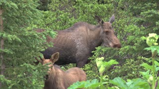 Moose Mother and Calf in the Woods