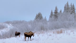 Moose Munching on Morning in Snowy Forest