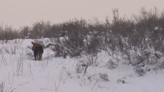 Moose Shaking in the Snow