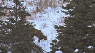 Moose Standing by Two Spruce Trees